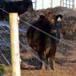 Beef cattle life stages