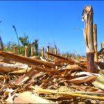 Harvested Corn Fields