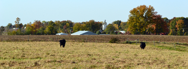 cows in the fall1