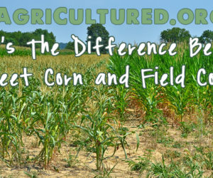difference between sweet corn and field corn featured