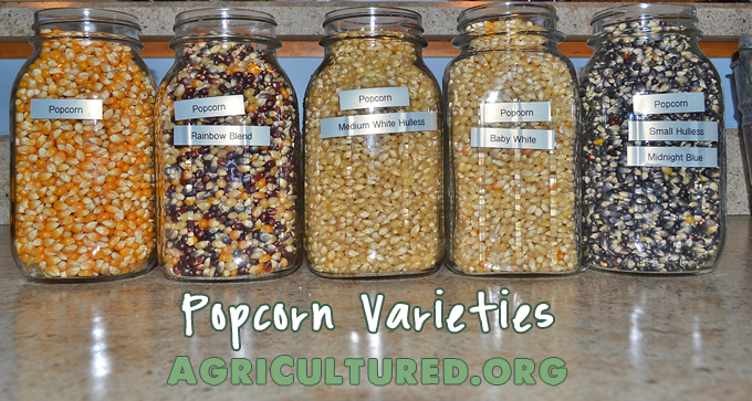 Did you know that popcorn comes in many different varieties? See some of the differences between popcorn varieties.