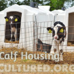 Dairy calf housing