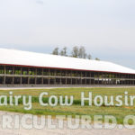 Dairy cow housing