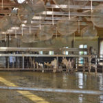 Milking cows is an every day job