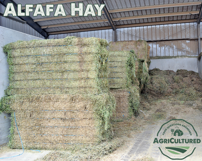 Alfalfa hay is used as a fiber source for dairy cattle. It has more protein than grass hay.