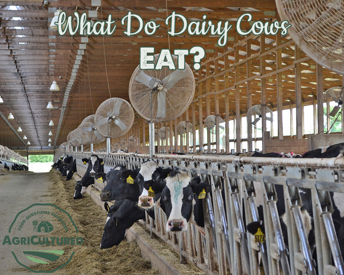 Dairy cattle can eat 100 pounds of food every day! But more important than the amount of food is that they get the right kinds of food to keep them healthy. Dairy farmers work closely with veterinarians and nutritionists to be sure their cows are fed a balanced diet.