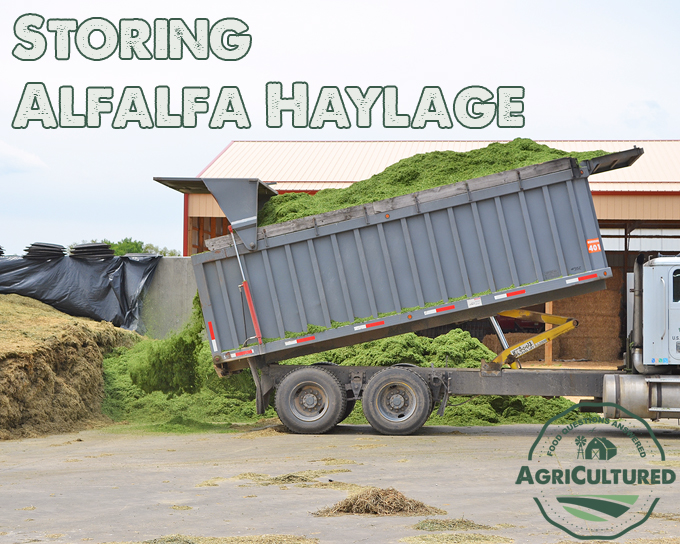 Alfalfa haylage is stored under large tarps where it ferments slightly before it is fed to cows.
