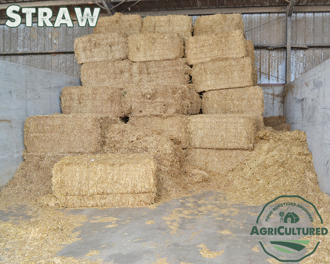 Straw gives cattle lots of fiber and roughage, and is important for rumen health in dairy cattle.